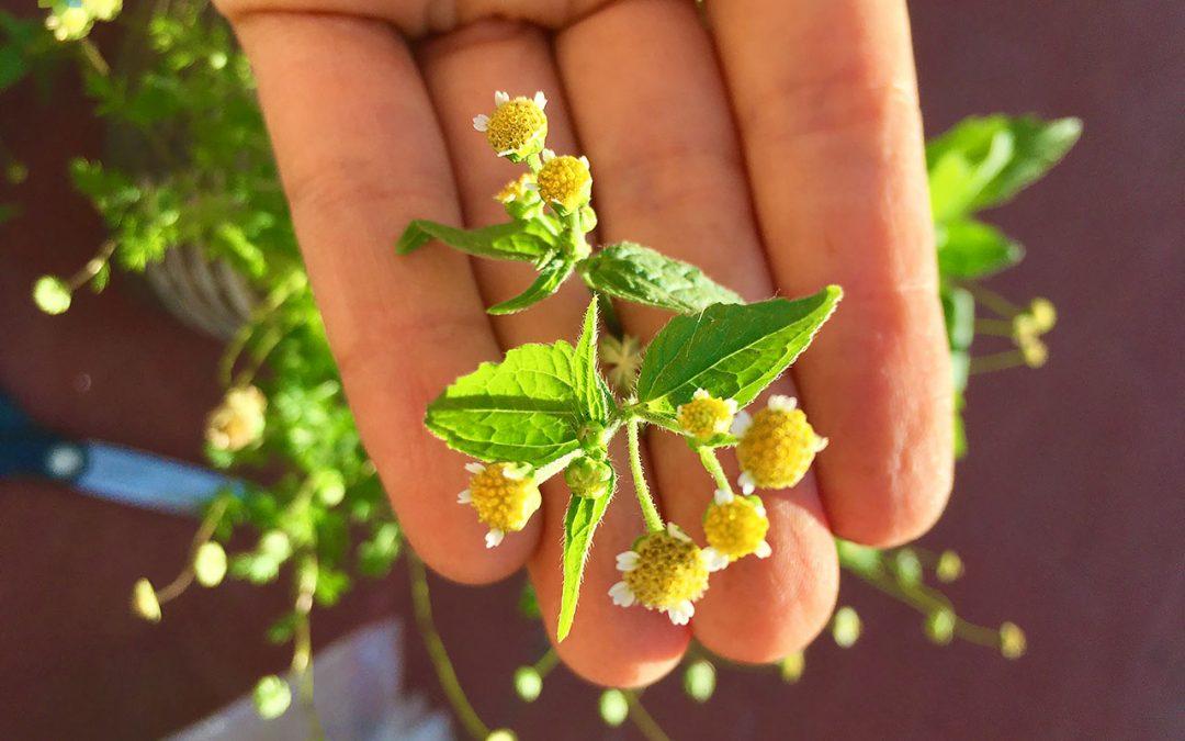 Primer plano de hojas y flores de Albahaca silvestre