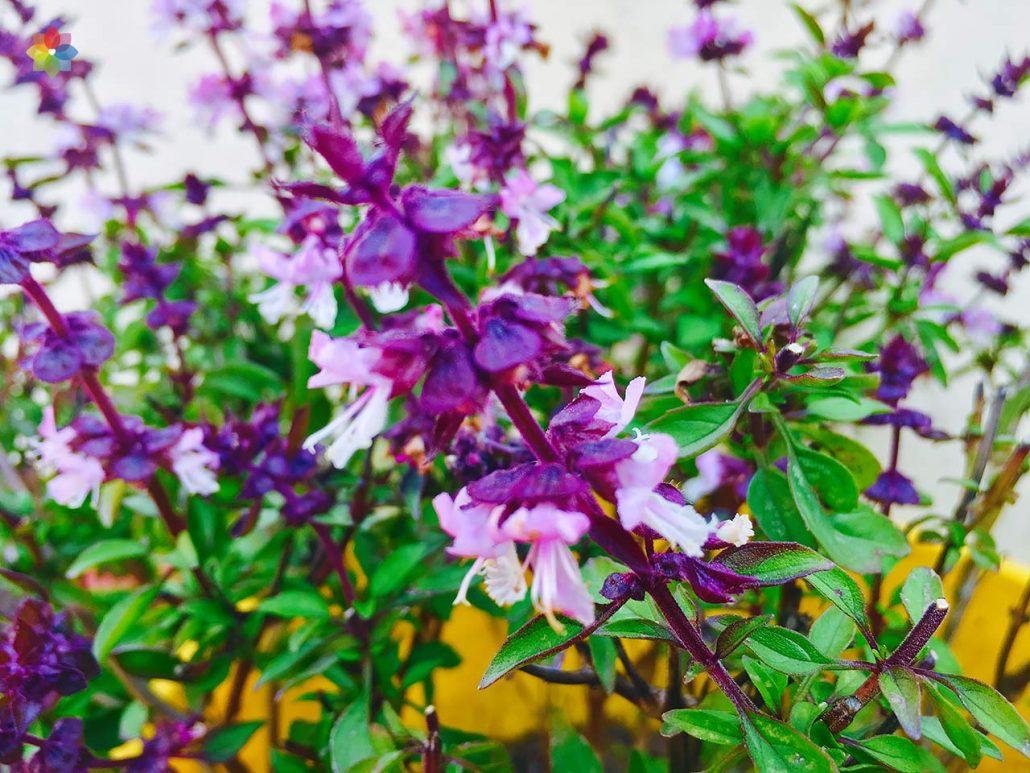 Primer plano de flores de Albahaca Thai
