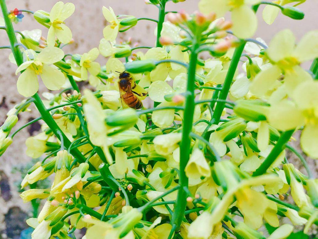 Primer plano de una abeja en flores de brócoli