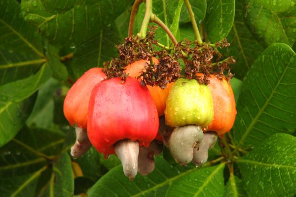 Frutas y castañas de cajú