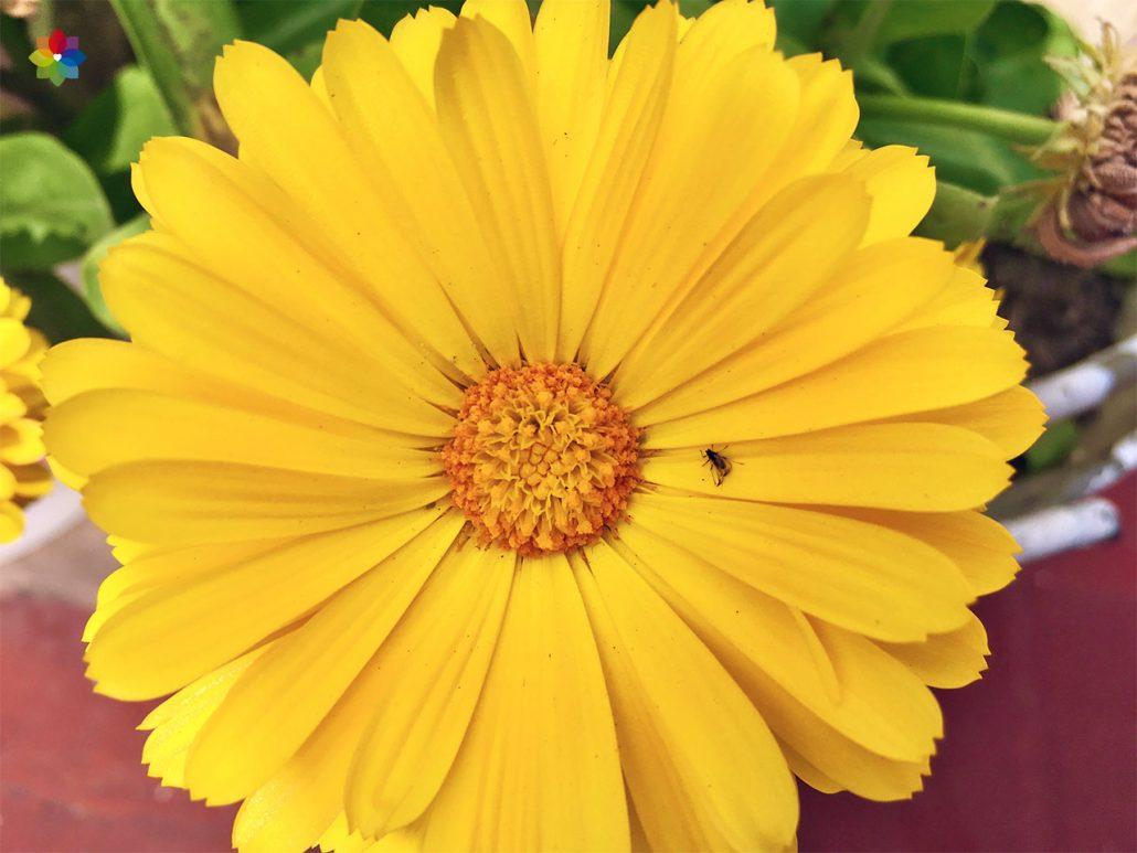 Primer plano de una flor de Caléndula amarilla