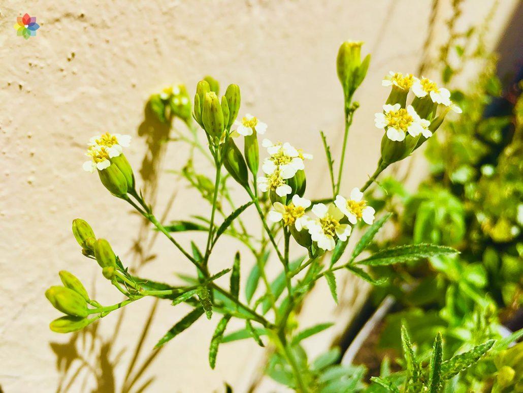 Primer plano de flores de Huacatay
