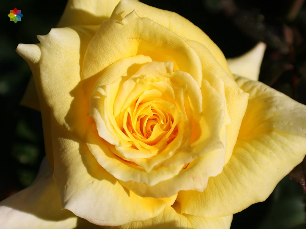 Primer plano de una Rosa amarilla