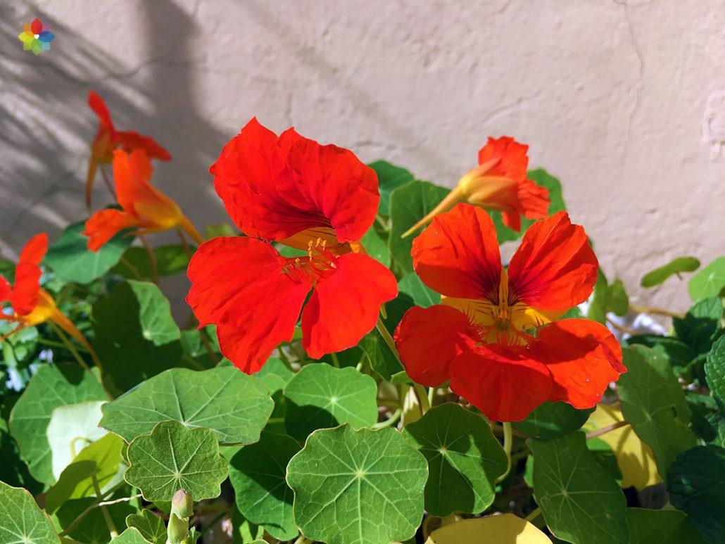 Primer plano de flores rojas de Taco de reina
