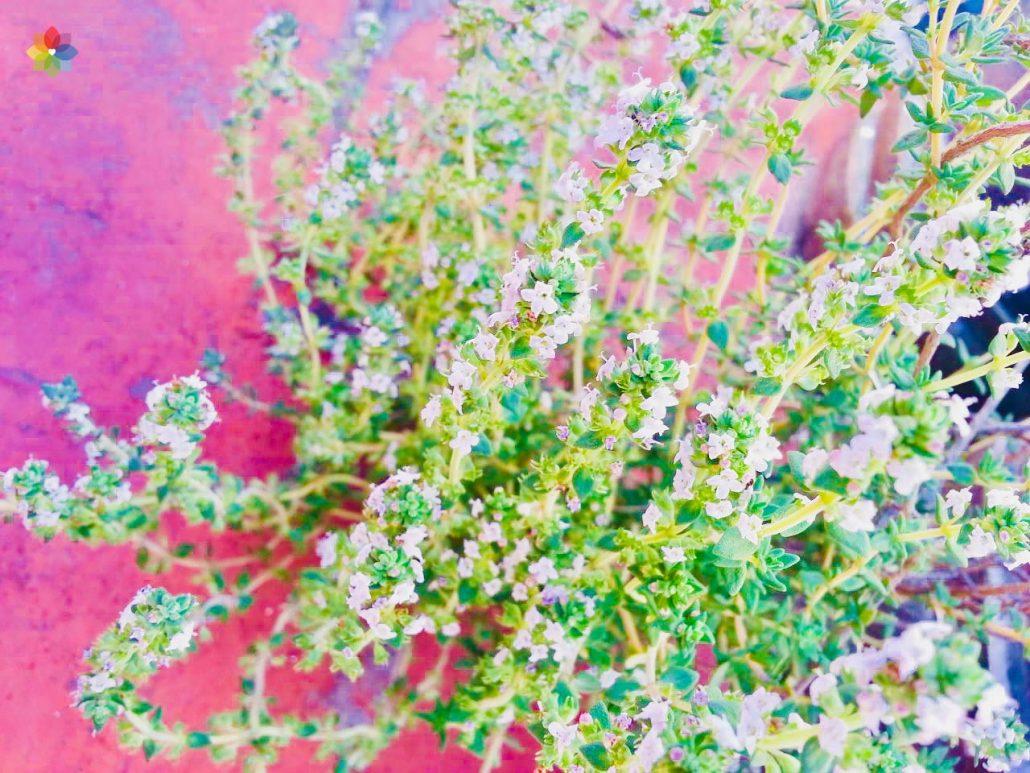 Primer plano de flores blancas de Tomillo